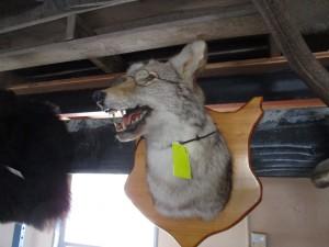 Coyote Head Mount