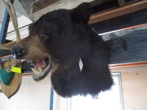 Maine Black Bear Head Mount