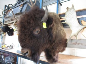 Canadian Buffalo Head Mount