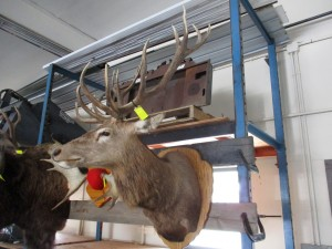 7 x 7 Red Stag Head Mount