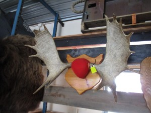 14 Point Maine Moose Mount