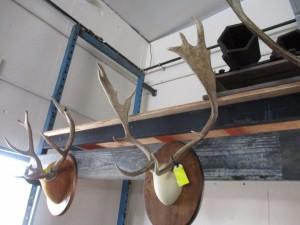 12 Point Fallow Deer Mount